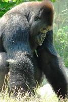 Большая и добрая обезьяна